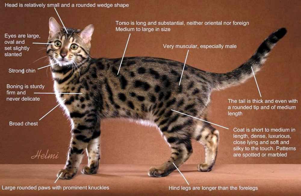 Бенгальская кошка породы кошек с