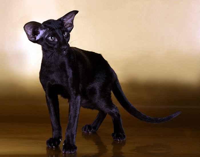 Фотография кошки породы петерболд