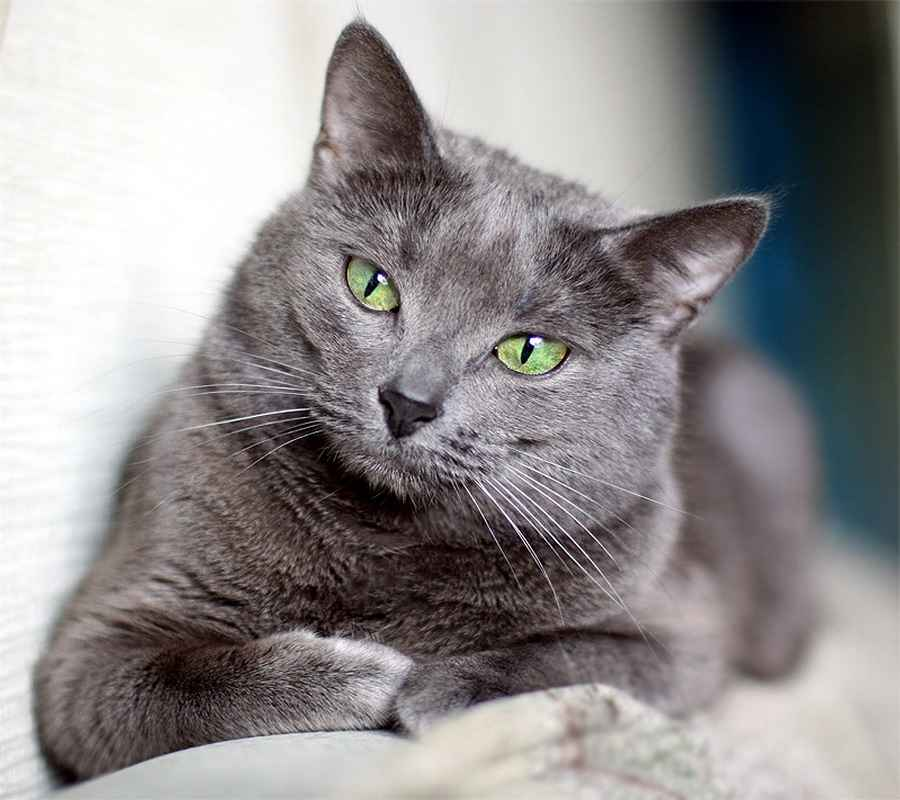 Русская голубая кошка породы кошек с