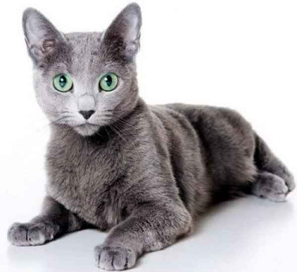 Внешний вид русской голубой кошки ...: breeds-of-cats.ru/russkie-porodi/vneshniy-vid-russkoy-goluboy-koshki