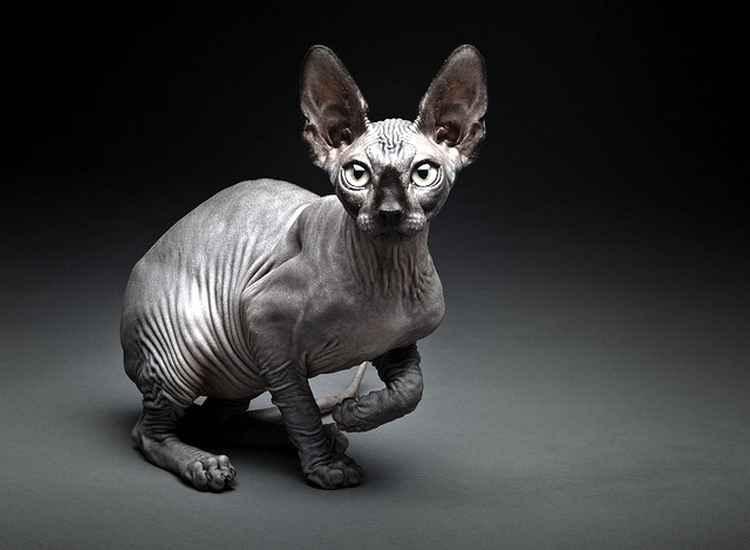 Фотография кошки породы сфинкс