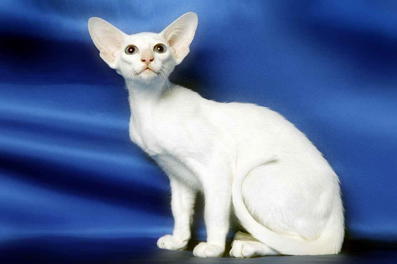 Как раз эта новая порода кошек форин вайт и стала фундаментом