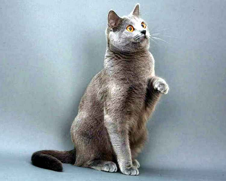 породы котов с фотографиями: