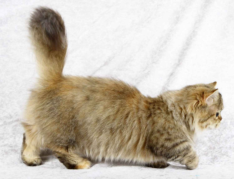 Породы в два раза меньше обычной кошки