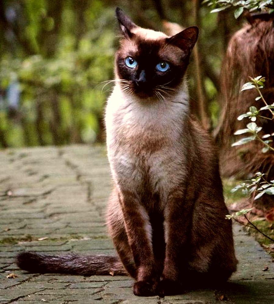 Тайская порода кошек родственная